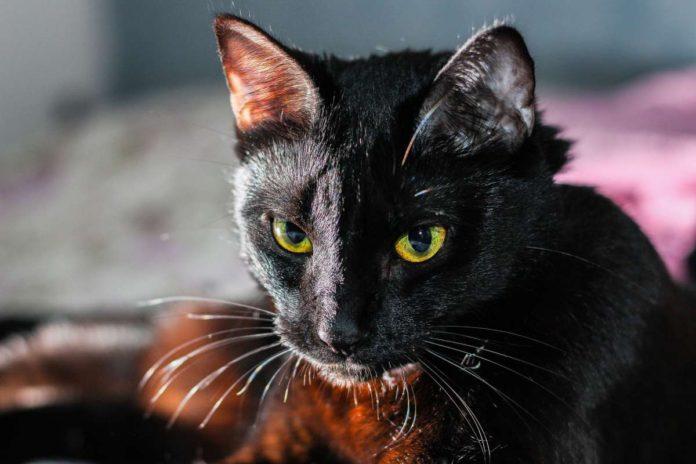 https://laopinion.com/2019/09/24/la-macabra-razon-por-la-que-aumenta-la-desaparicion-de-gatos-negros-en-octubre-mes-de-halloween/